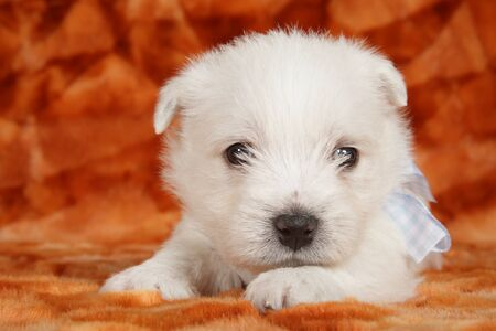 Close-up portrait of a West Highland White Terrier puppy, front view. Baby animal theme Foto de archivo - 133403403