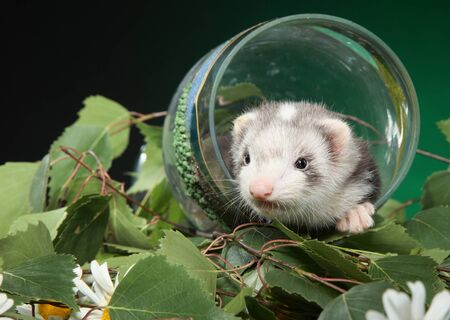 Ferret puppy sits in a wine glass against green leaves. Baby animal theme Foto de archivo - 133403408