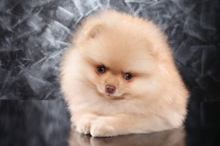 Cute Spitz puppy posing on gray background. Baby animal theme Foto de archivo - 133403275