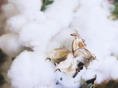 material flower: Cotton Plant Flower Organic Raw Material for textiled Stock Photo