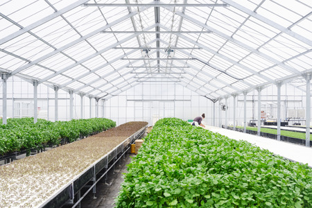 Greenhouse Farming Organic vegetable agriculture engineer technology Stock Photo