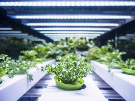Grenouille de serre de croissance Croissance avec éclairage LED Technologie de l'agriculture à l'intérieur de l'agriculture Banque d'images - 64839489