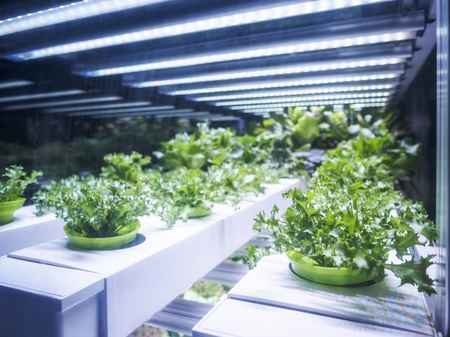 Greenhouse Plant row Grow with LED Light Indoor Farm Agriculture Technology Stock Photo