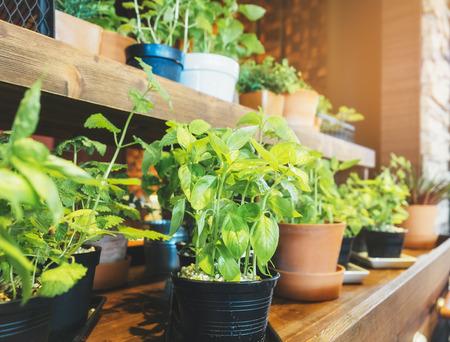 Heilige Basilicum Herb Plant potten op houten plank Groentetuin