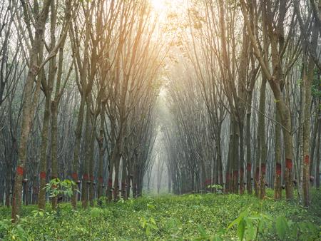 Rubber plantation with sunlight Nature agriculture landscape