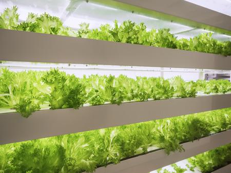 温室植物の行は、LEDライト屋内農場農業技術で成長します 写真素材 - 101252281