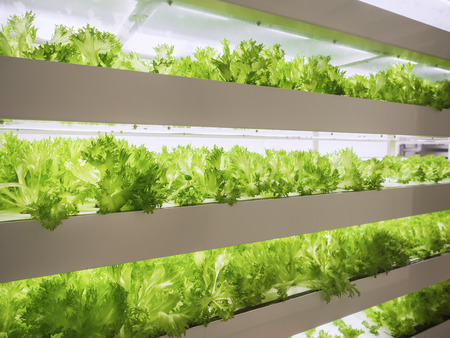 Greenhouse Plant row Grow with LED Light Indoor Farm Agriculture Technology Standard-Bild