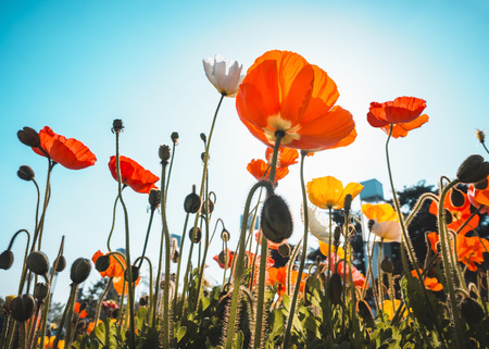 Poppy Field Colourful flowers with blue sky Garden Outdoor sunlight Summer Background