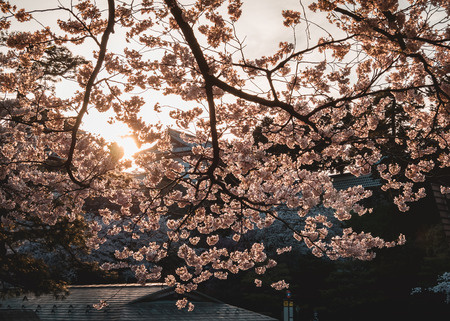 Sakura flower Cherry blossom sunset at Castle Spring season Nature background