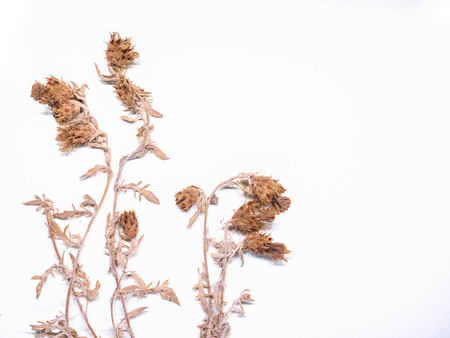 Dried Plant on white background Natural science