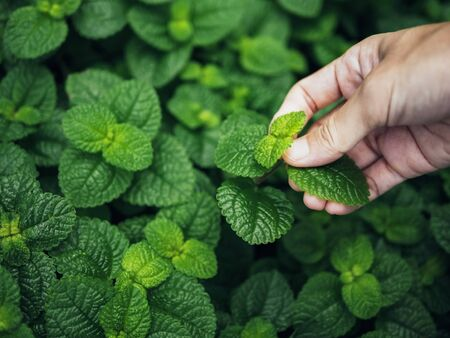 Mint leaves Green herb plant with Farmer hand pick mint leaf