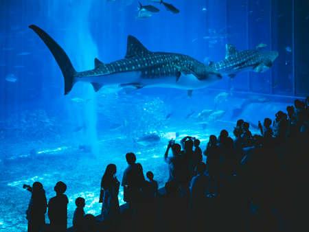 OKINAWA, JAPAN - AUG 30, 2019 : Okinawa Churaumi Aquarium Theme Park with crowd People take picture Giant Whale shark in Tank