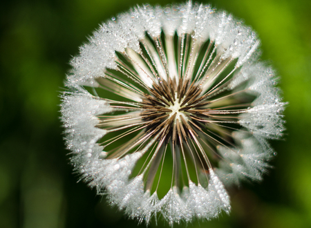 Dandelion flower with sparkling drops of dew. Dandelion in green background, shallow depth of field. Seed macro. Standard-Bild - 124962814