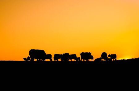 Silhouette of cattle grazing before sunrise. Herd of cows on a summer morning.