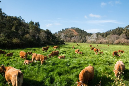 Herd of cows grazed in the fresh green grass