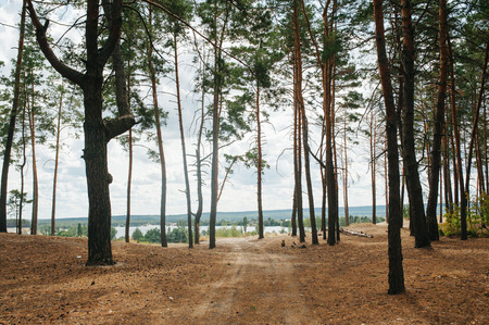 Pine forest. Ecology concept. Environmental protection. Reserve area. Soil pollution. Air pollution. Land usefull. Pice sky.