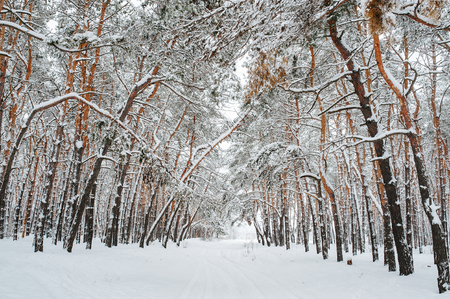 Snow covered trees in the winter forest. Christmas background with snowy fir trees. Fir branches covered with snow