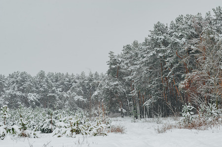 Winter day in the pine forest. Young green trees of pines covered snow.