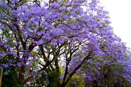 Jacaranda bush in Africa