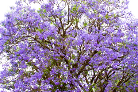 violet tree Jacaranda, growing in the province of Mpumalanga, South Africa Stock Photo