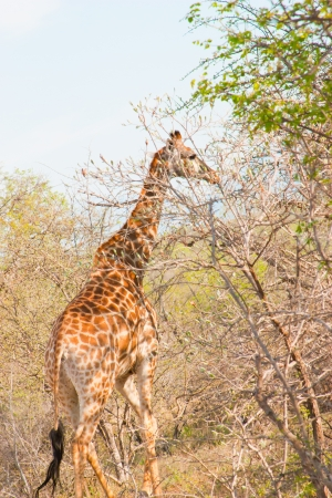 Graceful giraffe eating branch of the tree in national Kruger Park in South Africa  More of this series on my portfolio   photo