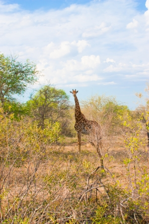 African landscape and giraffe in national Kruger Park in South Africa  More of this series on my portfolio   photo