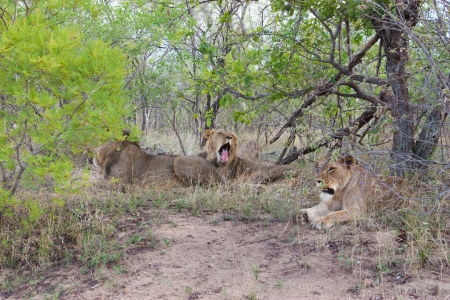 Wild Pride of lions  in national Kruger Park in UAR,natural themed collection background, beautiful nature of South Africa, wildlife adventure and travel photo