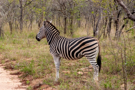 big five: Wild striped zebra  in national Kruger Park in South Africa,natural themed collection background, beautiful nature of South Africa, wildlife adventure and travel