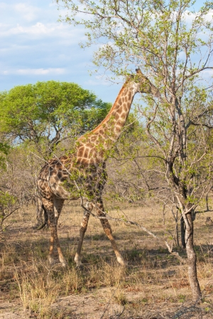 Wild Reticulated Giraffe  and African landscape in national Kruger Park in UAR,natural themed collection background, beautiful nature of South Africa, wildlife adventure and travel photo