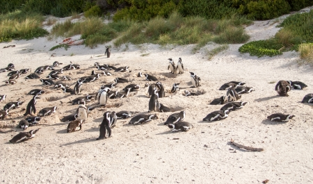 penguins on beach: penguins at the beach of Atlantic ocean in South Africa,Cape Town