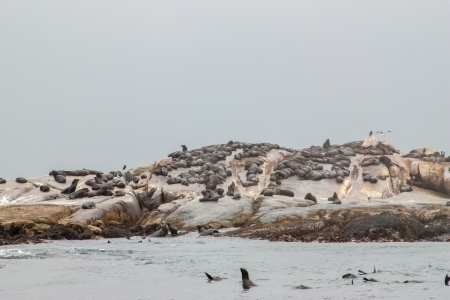 Big group of Cape Fur Seal at Seal island, Hout bay harbor, Cape Town, South Africa Reklamní fotografie
