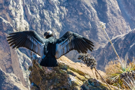 amerique du sud: Condor au canyon de Colca s�ance, au P�rou, en Am�rique du Sud. Il s'agit d'un condor le plus grand oiseau volant sur terre Banque d'images