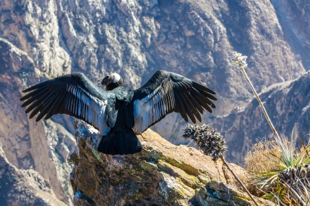southamerica: Condor at Colca canyon  sitting,Peru,South America. This is a condor the biggest flying bird on earth