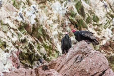 Vulture red neck birds in Ballestas Islands Peru South America  National park Paracas   Flora and fauna photo