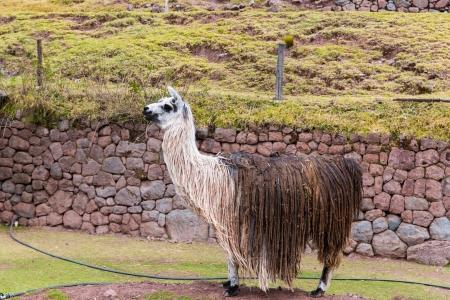 Peruvian  Llama. Farm of llama,alpaca,Vicuna in Peru,South America. Andean animal.Llama is South American camelid
