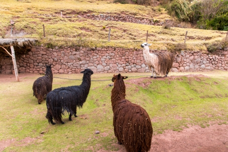 vicuna:  Farm of llama,alpaca,Vicuna in Peru,South America. Andean animal.Llama is South American camelid Stock Photo