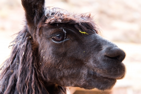 Peruvian alpaca. Farm of llama,alpaca,Vicuna in Peru,South America. Andean animal.Alpaca is South American camelid photo