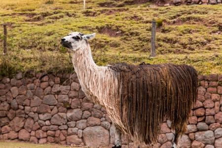 herbivore: Peruvian  Llama  Farm of llama,alpaca,Vicuna in Peru,South America  Andean animal Llama is South American camelid