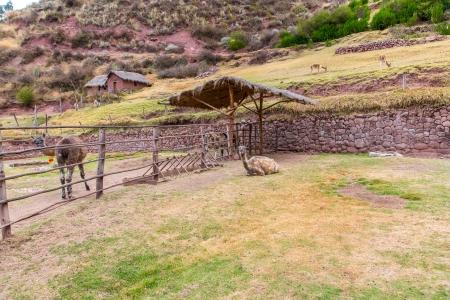 Peruvian  Llama. Farm of llama,alpaca,Vicuna in Peru,South America. Andean animal.Llama is South American camelid photo