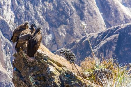 コルカ渓谷に座って、ペルー、南アメリカで 3 つのコンドル。これは、地球上最大の飛ぶ鳥コンドル