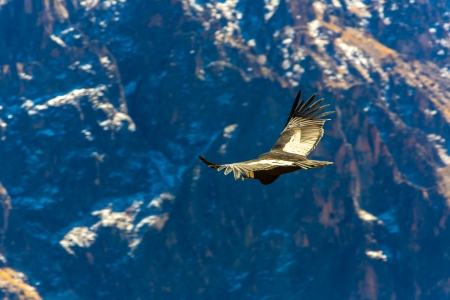 Flying condor over Colca canyon,Peru,South America. This is a condor the biggest flying bird on earth Stock Photo