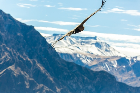southamerica: Flying condor over Colca canyon,Peru,South America. This is a condor the biggest flying bird on earth Stock Photo