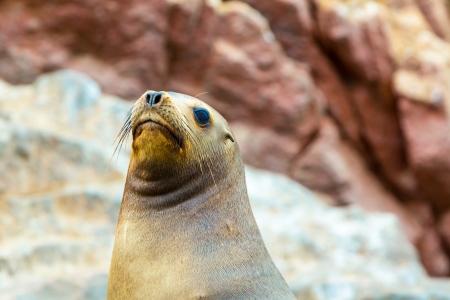 fauna: Leones del Mar del Sur de Am�rica se relaja en rocas de las Islas Ballestas en el Parque Nacional de Paracas, Per�. La flora y la fauna Foto de archivo
