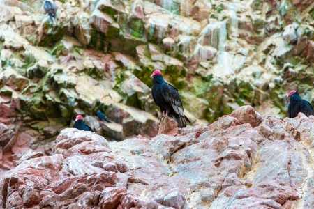 Vulture red neck birds in Ballestas Islands.Peru.South America. National park Paracas.  Flora and fauna photo