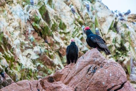 fauna: Buitre p�jaros rojos en el cuello Ballestas Islands.Peru.South Latina. Paracas parque nacional. La flora y la fauna Foto de archivo