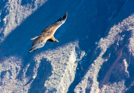 biggest: Flying condor over Colca canyon,Peru,South America This is a condor the biggest flying bird on earth