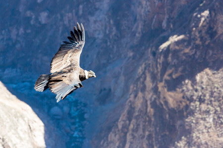 Flying condor over Colca canyon,Peru,South America This is a condor the biggest flying bird on earth