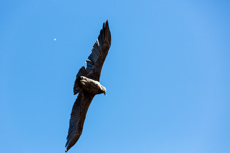 southamerica: Flying condor over Colca canyon,Peru,South America This is a condor the biggest flying bird on earth