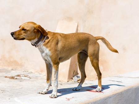 A street dog in Greece, Chania, Crete photo