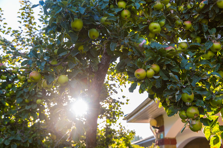 fruitful: Green apples on apple tree branch ready to be harvested on nature